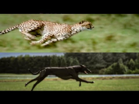 Cheetah vs Greyhound Speed Test BBC Earth