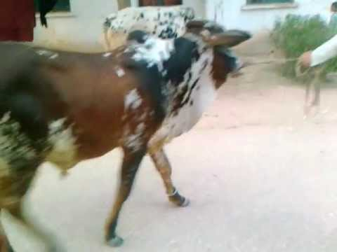 Xxx Mp4 Shaheen Camp Peshawar Cantt 7 Cow 3gp Sex