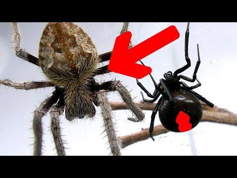 Xxx Mp4 Redback Spider Vs Giant Hairy Scary Orb Spider Amazing Bug War Sucking Fluids 3gp Sex