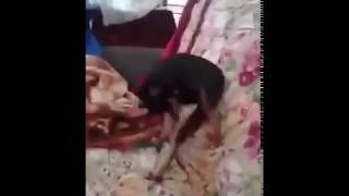 Dog is practiced oral sex