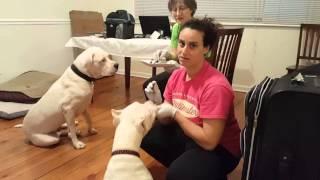 Dogo Puppy Training