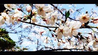HINA - Cherry Color [Lyric Video] movie by Hirosaki Sakura Festival(弘前さくらまつり2016)