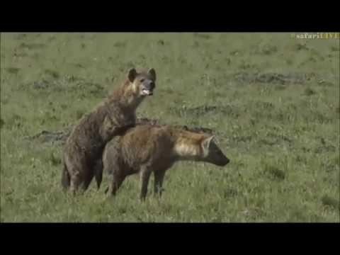 Safari Live : A very rare sighting of mating Hyenas in the Masai Mara with Scott June 27, 2017