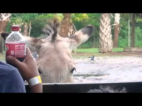 A Zorse ? Half Zebra and Half Horse !!!!