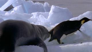 Leopard Seal Kills Emperor Penguin   Blue Planet   BBC Earth