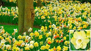 How to plant Daffodil Bulbs: Jeff Turner plants mixed Narcissi Daffodils in the border