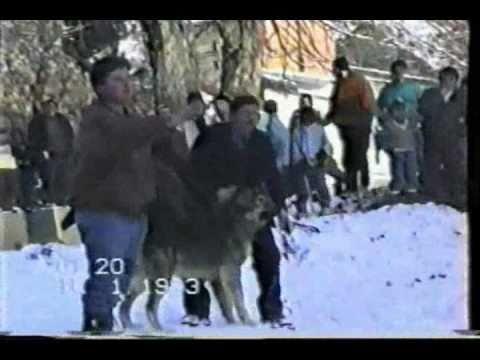 Ilirski ovcari od familije Bazda