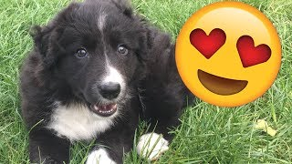 BUYING A NEW BORDER COLLIE PUPPY!