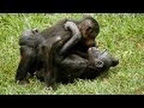Monkey Mating - Chimpanzee Sex Tape