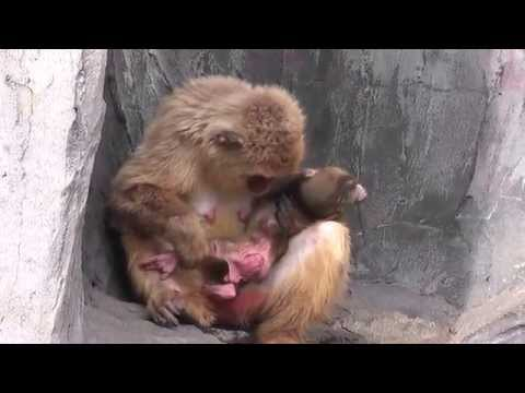 Xxx Mp4 Baby Monkey 12days Old  ニホンザルの赤ちゃん(生後12日目)②(釧路動物園) 3gp Sex