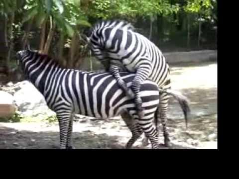 Zebra acasalando