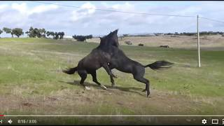 Two Stallions Meet & Decide Who Will Be In Charge - Good Horse Behavior