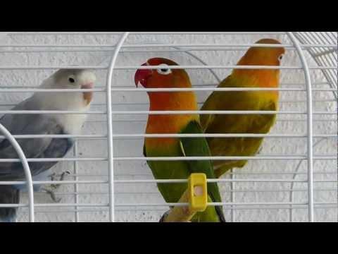 World's best singing agapornis - Los mejores agapornis inseparables del mundo cantando