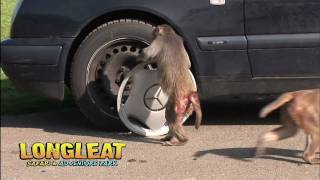 Monkey Mayhem Returns to Longleat!
