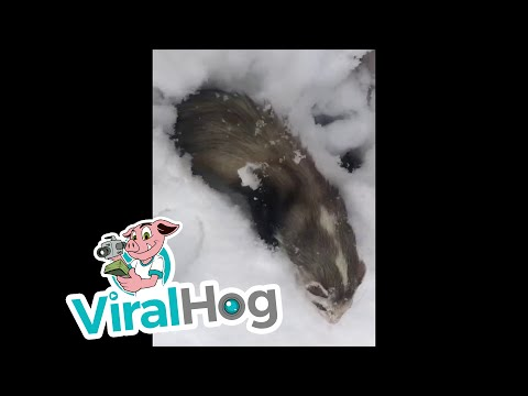 Xxx Mp4 Adorable Ferret Encounters Snow For The First Time ViralHog 3gp Sex