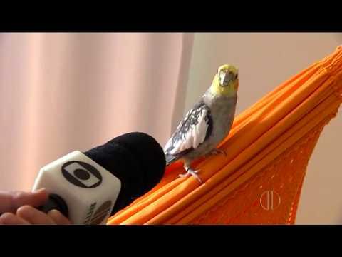 Calopsita Cantando hino do abc