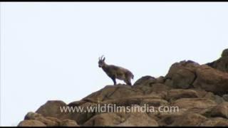 Siberian Ibex and Ladakh Urial in Ladakh : rare footage