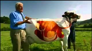 A Cow's Digestive System - YouTube