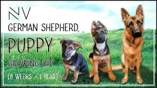 German Shepherd Puppy Growing Up (8 Weeks - 1 Year) | NerdVlog