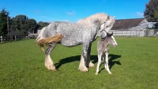 Shire foal liberty