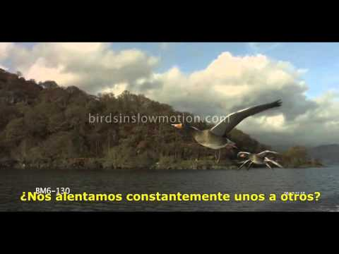 GANSOS VOLANDO EN V video motivacional.