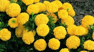 How to grow marigold || care of marigold