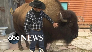 Family lives with a Bison called