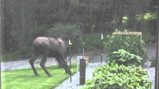 Mr. Moose meets the electric fence