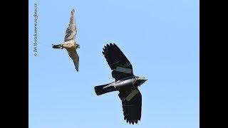 Zayferus - sokol loví motorovou vránu