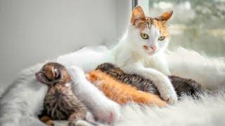 قطه تلد 4 صغار جميله جدا🐈🐈🐈🐈