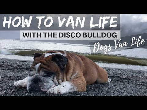 How To Van Life With Disco The Van Dwelling Bulldog // STEP ONE