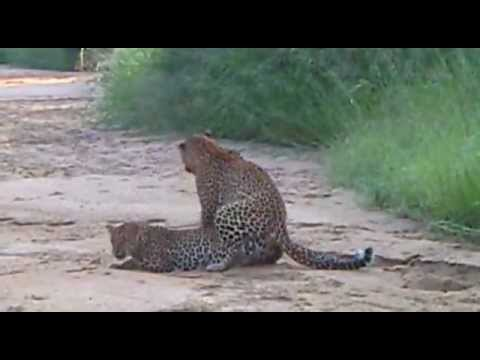 Sex In The Wild: Leopards Mating - Big Cats in Africa