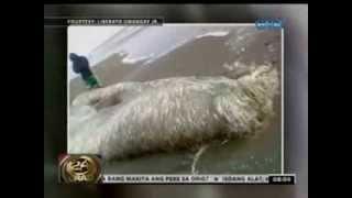 24 Oras: Kakaibang nilalang sa dagat, natagpuan sa Aparri, Cagayan