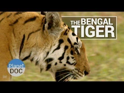 Bengal Tiger | Wild Animals - Planet Doc Full Documentaries