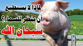 هل تعلم لماذا لا يستطيع الخنزير أن ينظر للسماء كباقي الحيوانات؟ إجابة ستدهشك