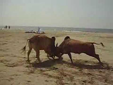 bullfighting Goa Morjim