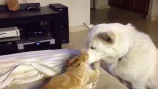 Dog licking kitty cats ears
