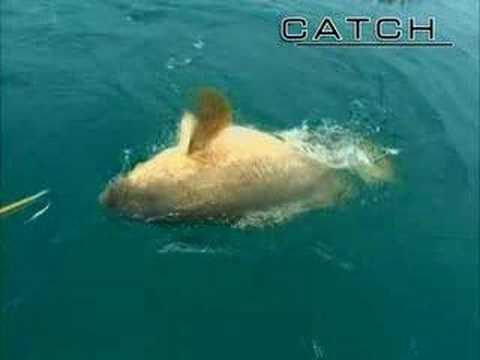 Big Game Fishing 400 pound fish KO man