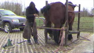 Belgian Draft kicking with hind legs due to mud fever- meeting farrier