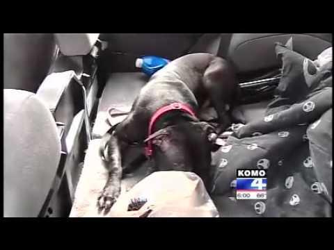 Xxx Mp4 Ex Fighting Pitbull Dog Saves Woman S Car Being Jacked By Car Jacker 3gp Sex