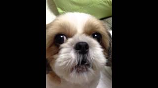 シーズーいちごさん  shi-tzu trying to speak