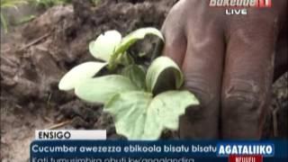 Cucumber awezezza ebikoola bisatu bisatu