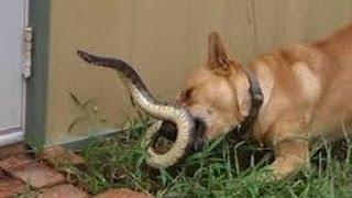 Snake vs Dog - Funny Fight (Warning:Explicit Images)
