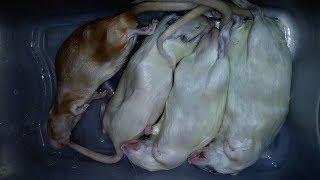 4 SLEEPING RATS (VS) 4 HUNGRY SNAKES!