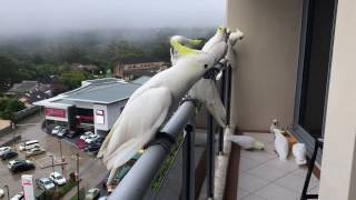 Cockatoos coming from all around to say Good Morning