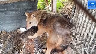 عالم الحيوانات كلاب ثعلب نعام حمام عقاب بوم نياص دجاج بط مع جمال العمواسي
