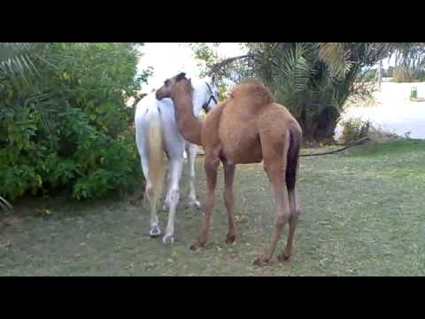 Xxx Mp4 Baby Camel Playing With A Horse 3gp Sex
