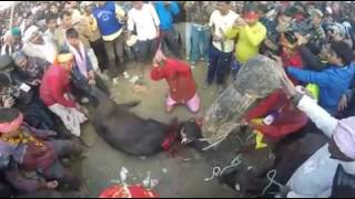 Kill's  animals  like  that... Hindu's  kills  cow n  buffalo