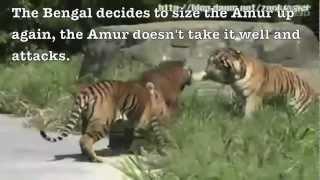 Siberian tiger vs. Bengal tiger - Fighting techniques