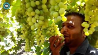 Indian Grapes farm    अगर आपने कभी अंगूर के खेत नहीं देखे तो इस वीडियो को जरुर    videos 2017